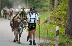Viehscheid Obermaiselstein Kuh mit Kopfschmuck © Allgäu GmbH