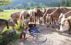 Kühe auf der Radrunde Allgäu © Allgäu GmbH © Allgäu GmbH